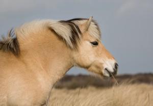 antenati del cavallo