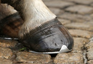 il piede del cavallo