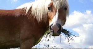 Gusto del Cavallo
