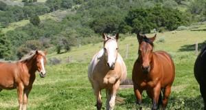 Le Relazioni Sociali del Cavallo: Il Branco