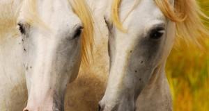 L'Amicizia tra Due Cavalli