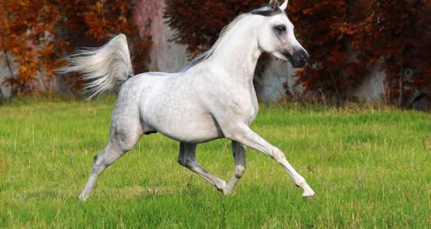 Il Cavallo Arabo: Storia e Caratteristiche