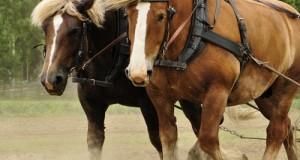 Courgnè, crema emolliente per curare l'unghia debole del cavallo