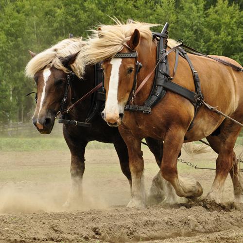 Cavallo Agricolo Italiano da Tiro Pesante Rapido