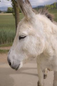 Asino dell'Asinara - razze equine italiane