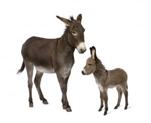 Asino dell'Amiata - razze equine